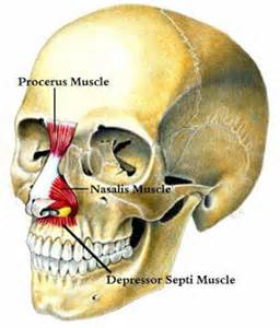 Depressor Septi Nasi Muscle in Rhinoplasty Dr Barry Eppley Indianapolis